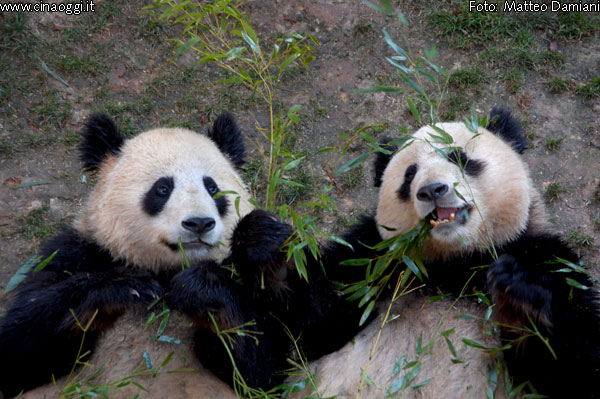 animals of China - Giant Panda images