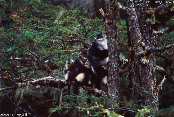 animals of China - snob-nosed monkey images