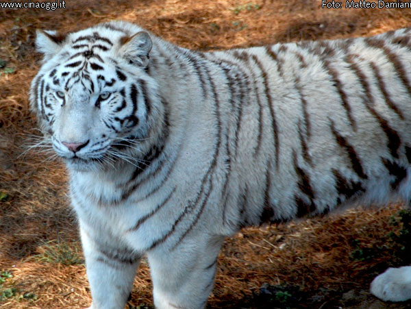 animals of China - white tiger images